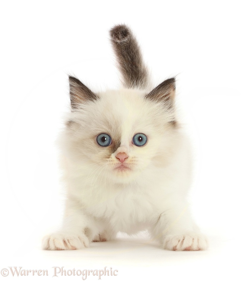 Persian-x-Ragdoll kitten, 7 weeks old, white background