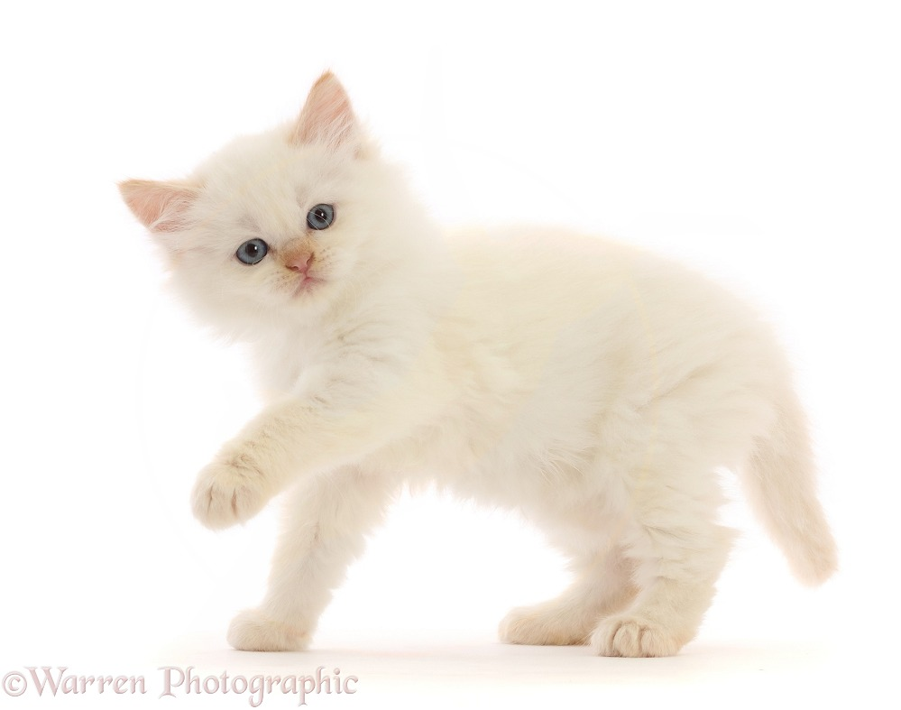 White Persian-cross kitten standing with paw raised, white background