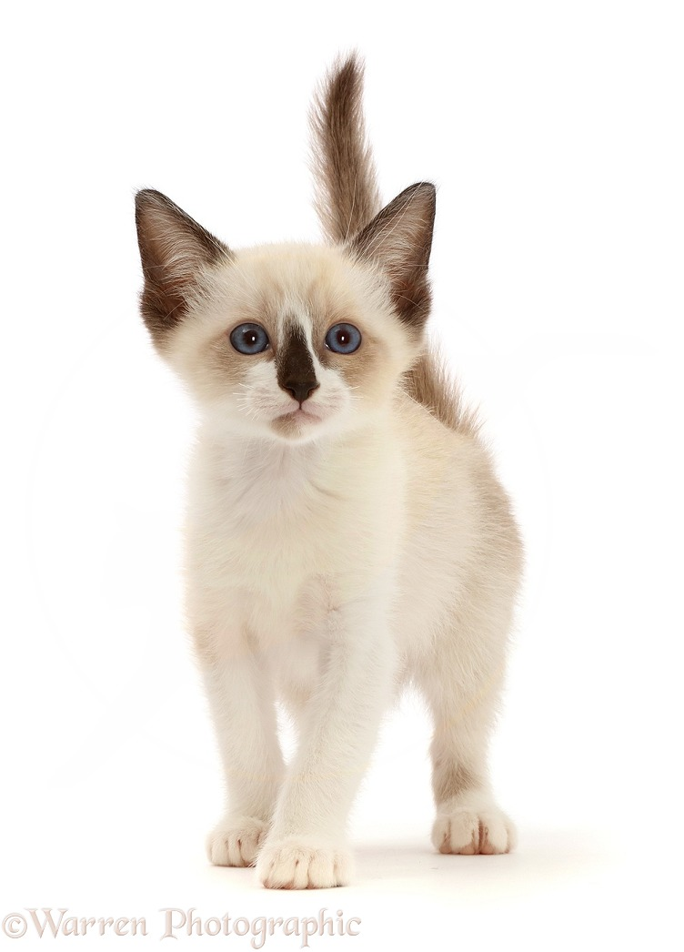 Persian-x-Ragdoll kitten, 7 weeks old, walking, white background