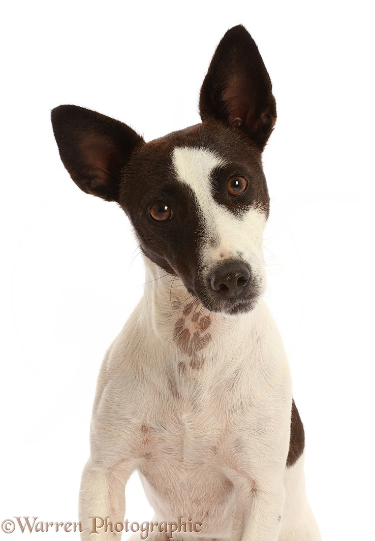 Chocolate-and-white Jack Russell Terrier, white background