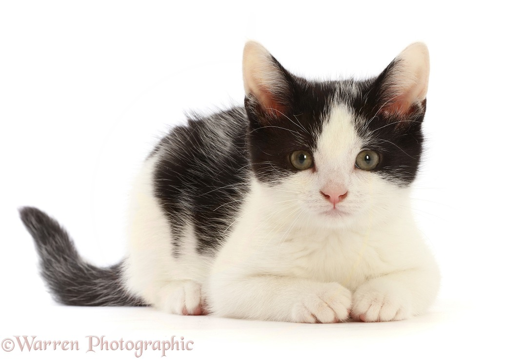 Black-and-white kitten, white background