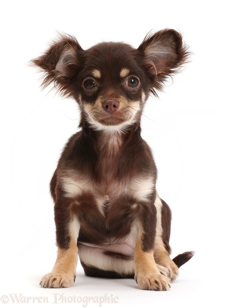 Chocolate-and-tan Chihuahua sitting, white background