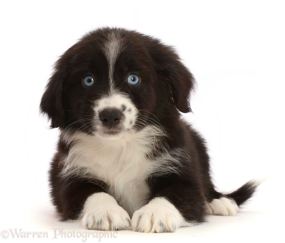 Black-and-white Mini American Shepherd puppy, white background