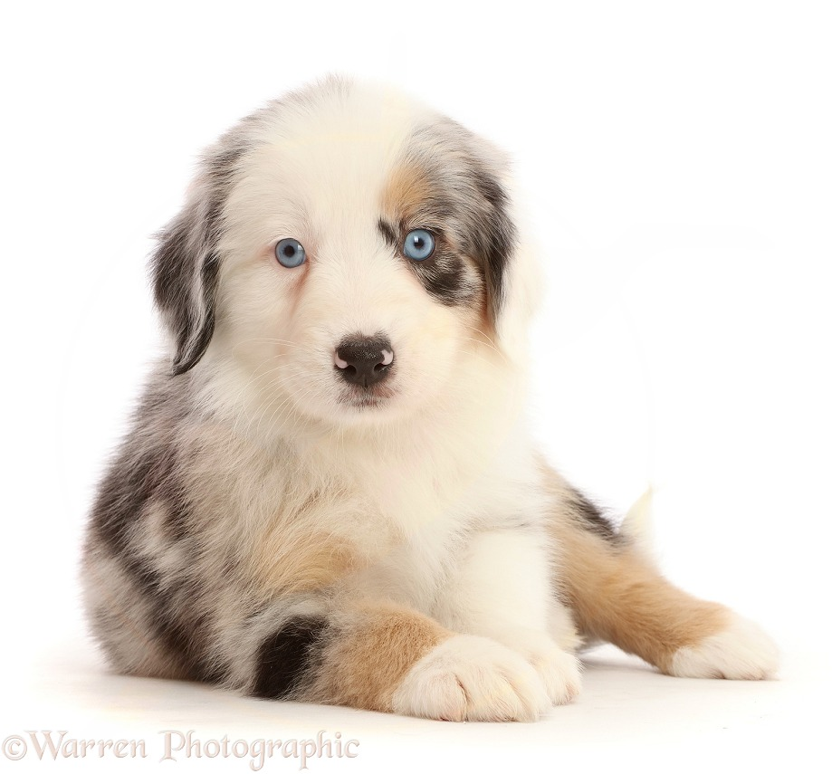 Merle Mini American Shepherd puppy, white background