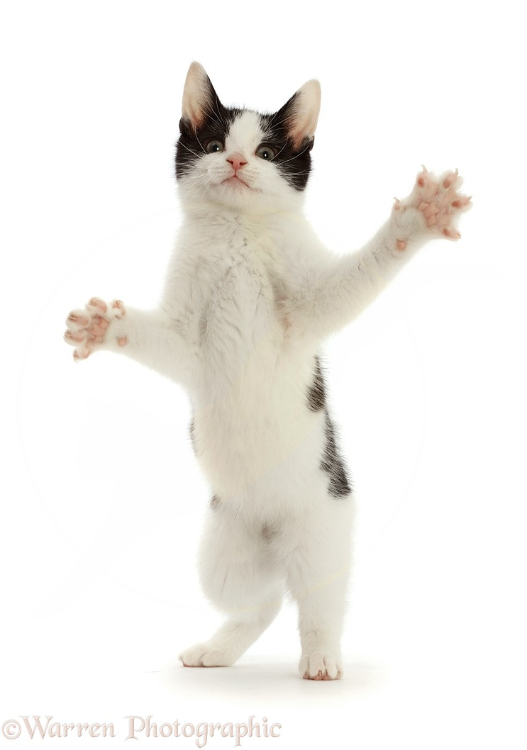 Black-and-white kitten standing up on hind legs and reaching, white background