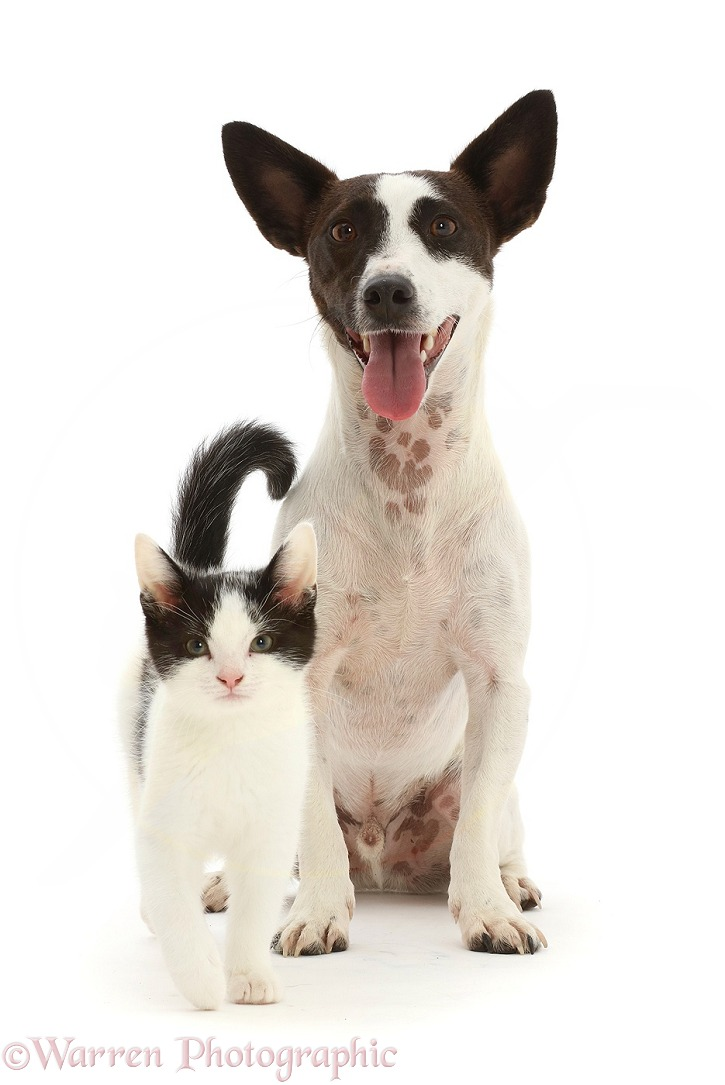 Chocolate-and-white Jack Russell Terrier with black-and-white kitten, white background