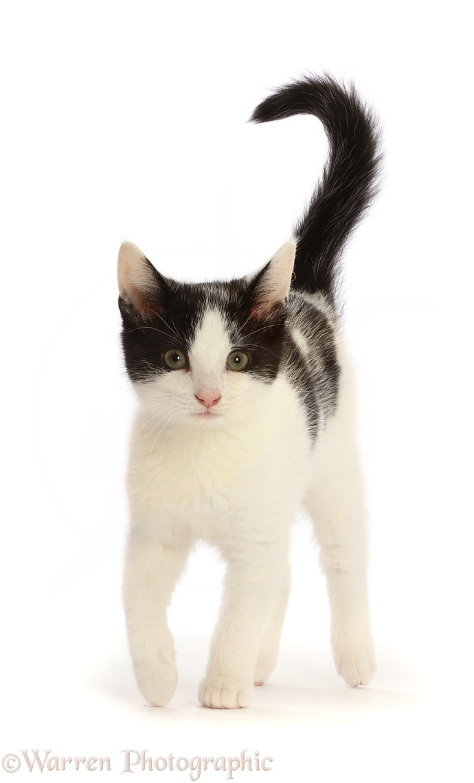 Black-and-white kitten walking, white background