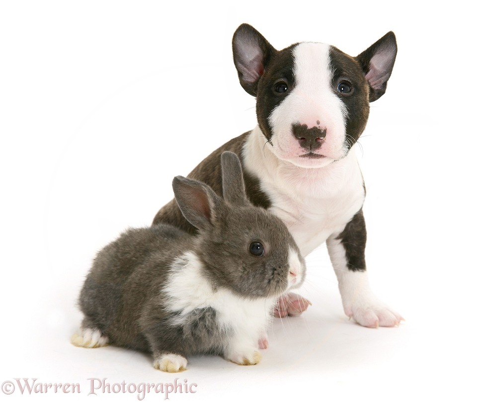 Miniature English Bull Terrier pup with baby Dutch-cross rabbit, white background