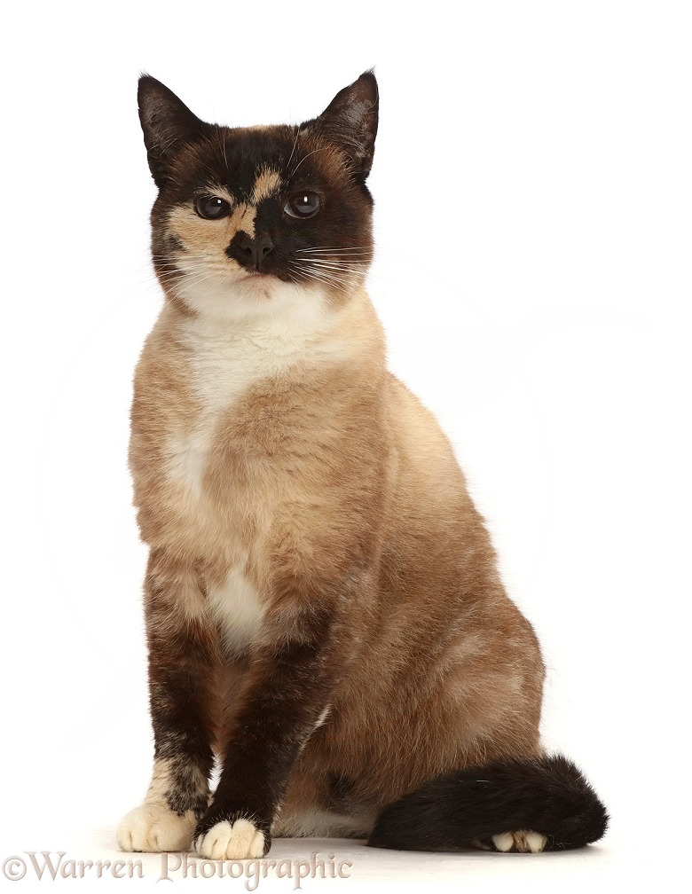 Chocolate tortie Snowshoe-cross cat, white background