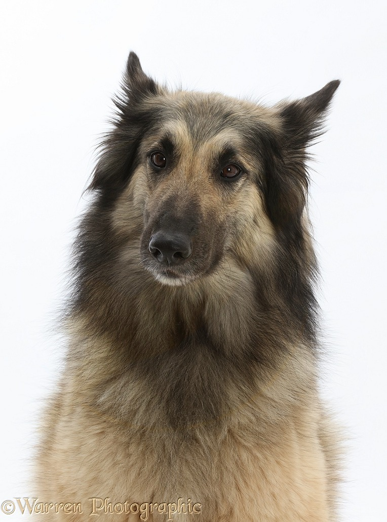 Belgian Shepherd Dog (Tervueren) bitch, Eskey, 4 years old. Colouring: Grey with dropped black mask, white background