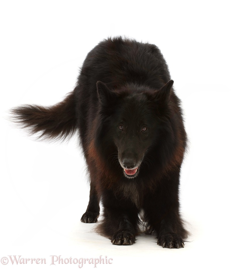 Black Belgian Shepherd Dog (Groenendael) bitch, Inca, 7 years old, in play-bow, white background