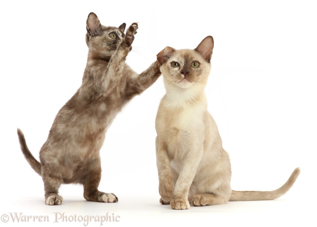 Playful Tortoiseshell Burmese kittens, white background