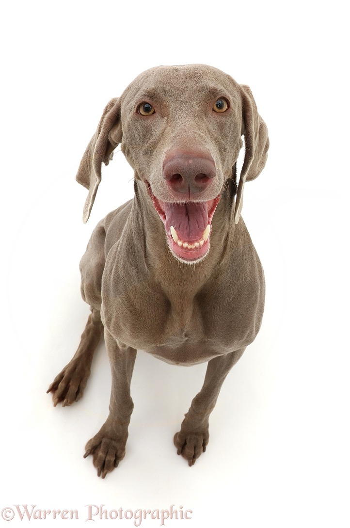 Weimaraner dog, Frankie, 3 years old, white background