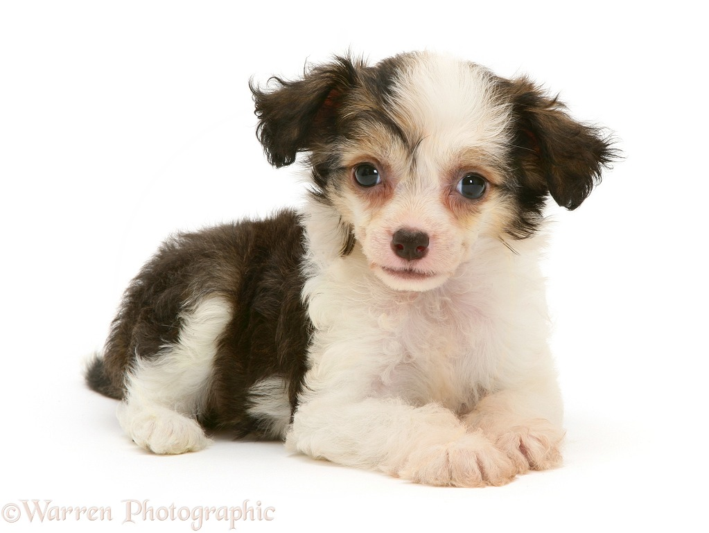 Chinese Crested puppy, white background