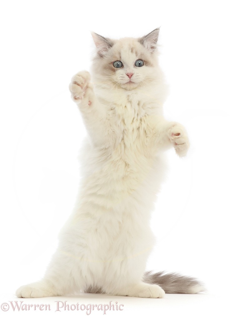 Ragdoll-x-Persian kitten, 14 weeks old, making a funny face, white background