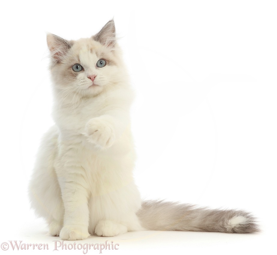 Ragdoll-x-Persian kitten, 14 weeks old, sitting and pointing, white background