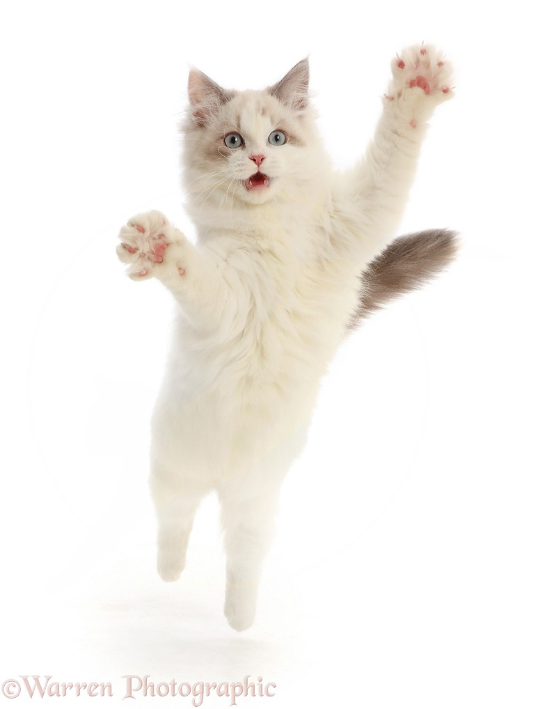 Ragdoll-x-Persian kitten, 14 weeks old, leaping and grasping, white background