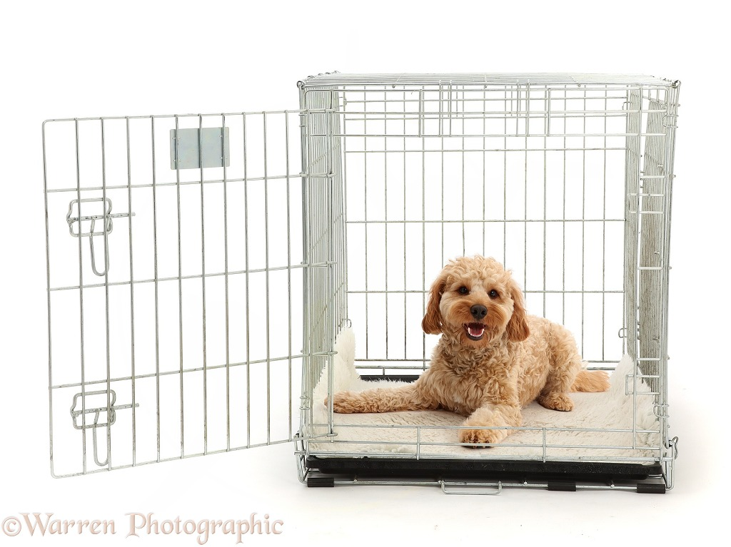 Cockapoo dog, Monty, 10 months old, lying in a carry crate, white background