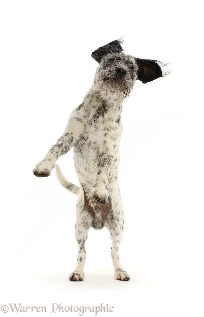 Dalmatian-x-Shih Tzu dog, jumping up, white background