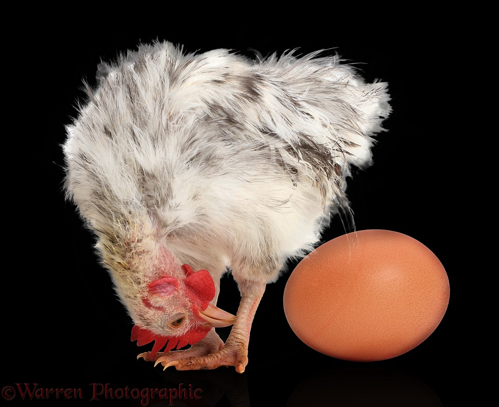 Silkie Serama Chicken looking at egg on black background