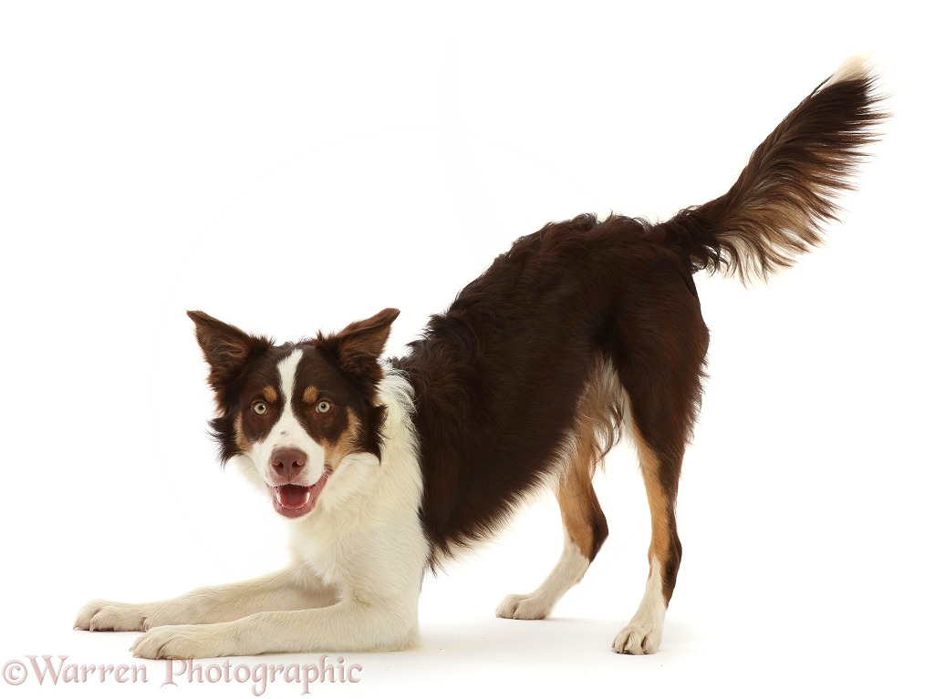 Chocolate tricolour Border Collie, 6 months old, in play bow, white background