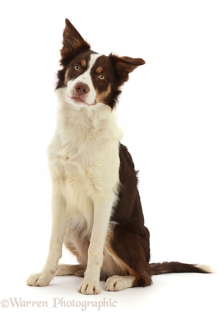 Chocolate tricolour Border Collie, 6 months old, sitting, white background