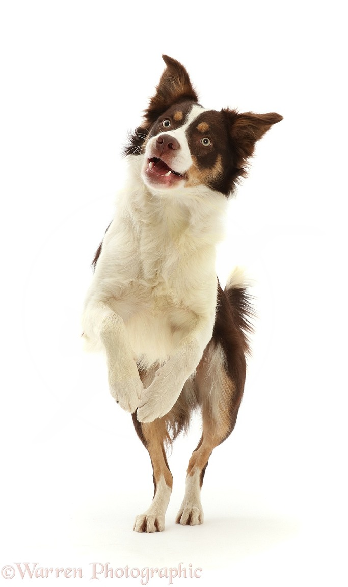 Playful Chocolate tricolour Border Collie, 6 months old, jumping up, white background