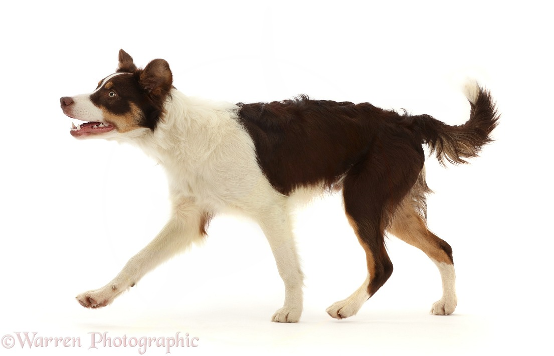 Chocolate tricolour Border Collie, 6 months old, running across, white background