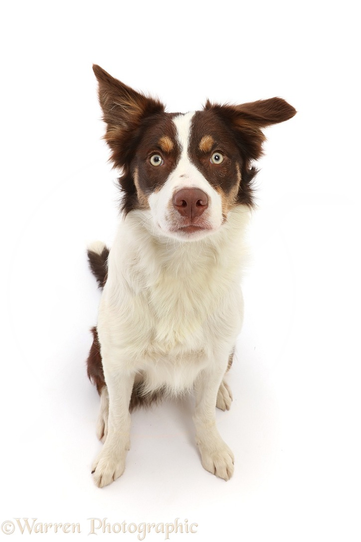 Chocolate tricolour Border Collie, 6 months old, sitting looking up, white background