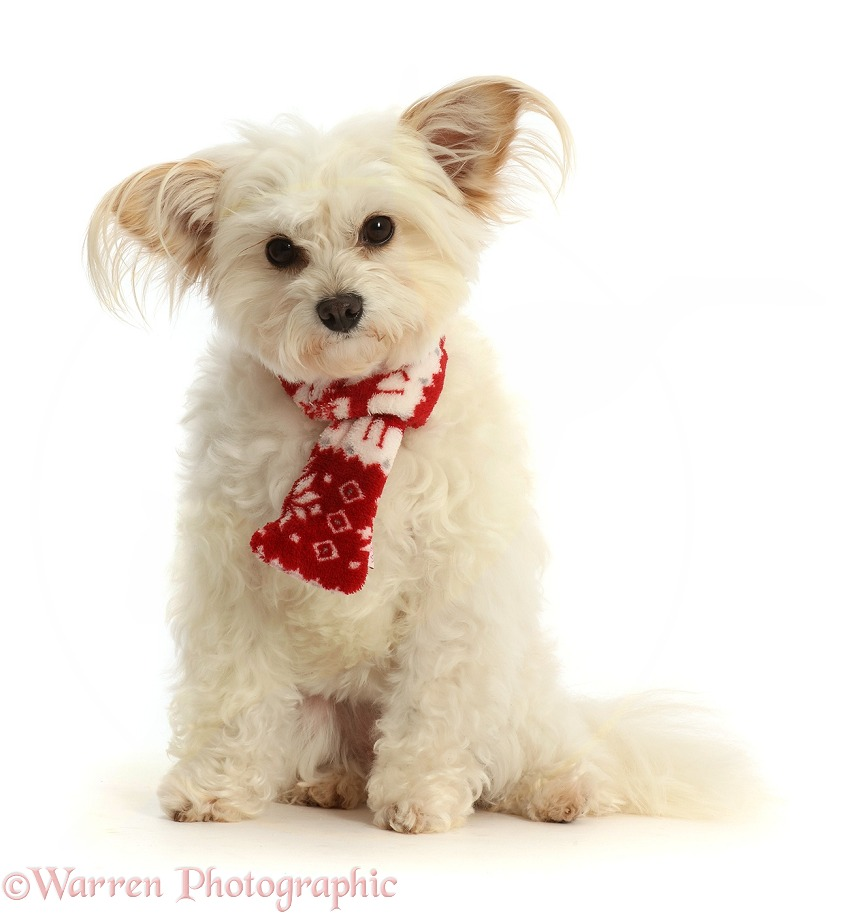 Pomapoo, Nala, wearing a red-and-white scarf, white background