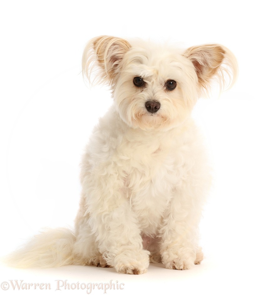 Pomapoo, Nala, sitting, white background