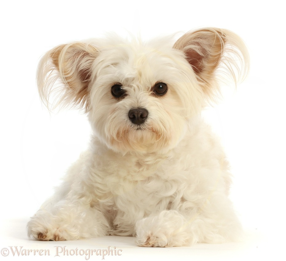 Pomapoo, Nala, white background