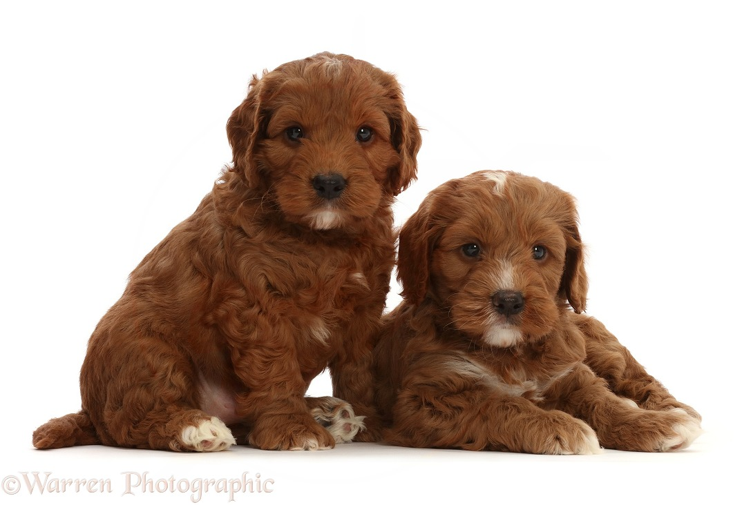 Red Cockapoo puppies, 6 weeks old, white background