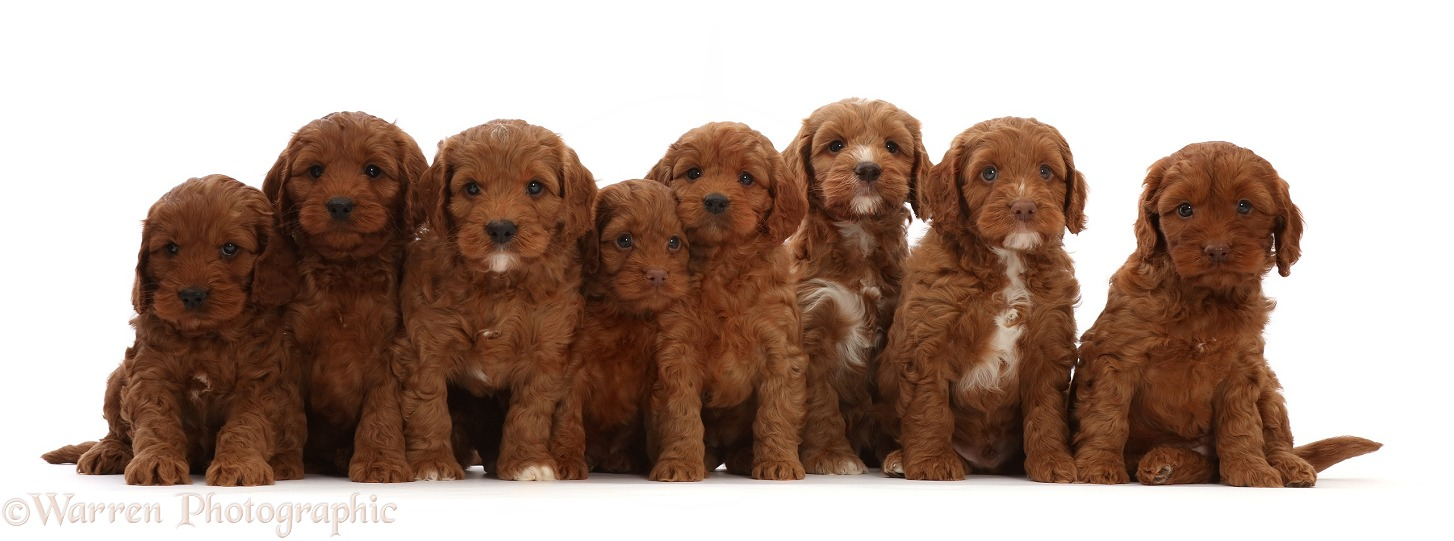 Seven red Cockapoo puppies, 6 weeks old, sitting in a row, white background