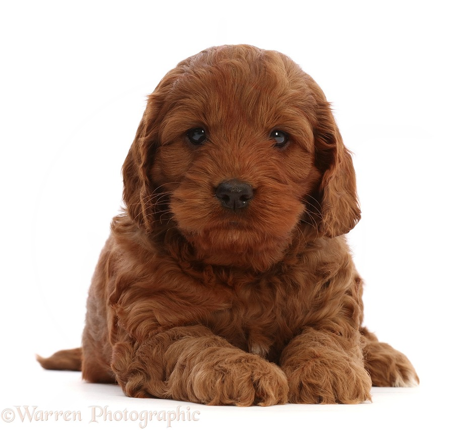 Red Cockapoo puppy, 6 weeks old, white background