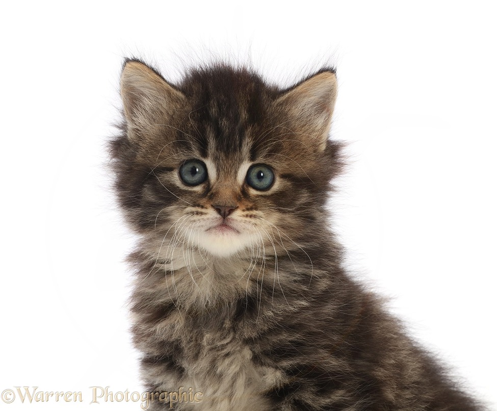 Tabby kitten, white background