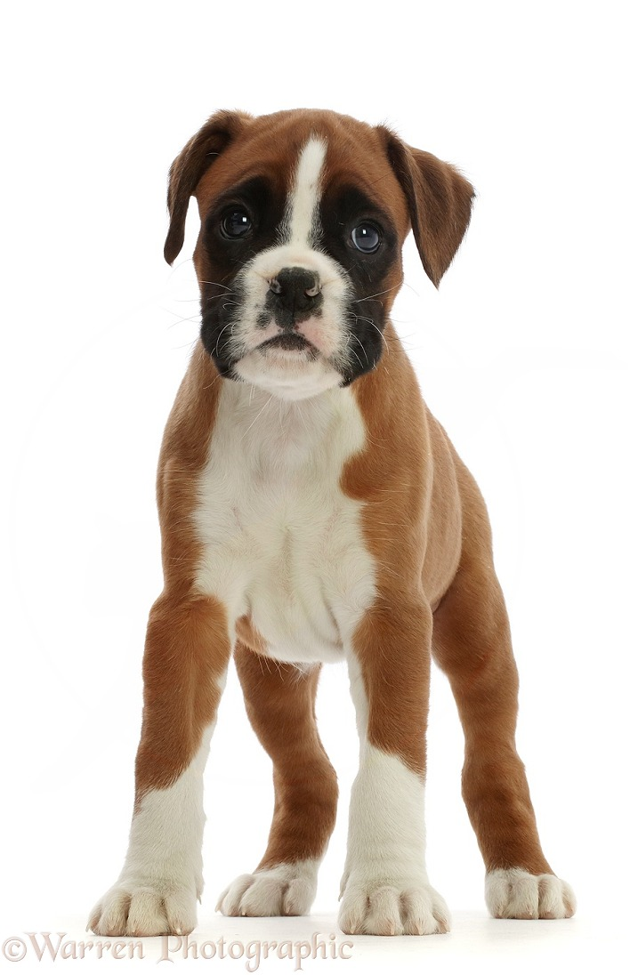 Boxer puppy, 6 weeks old, standing, white background