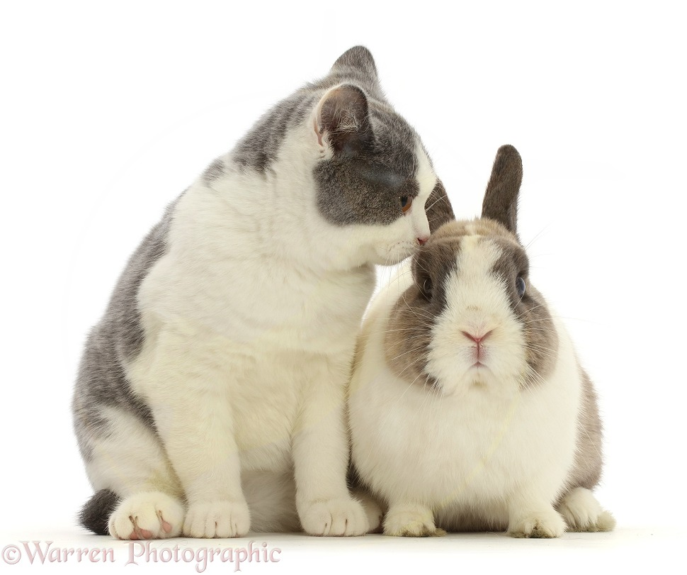 Blue bicolour British shorthair x Manx cat with Netherland Dwarf rabbit, white background