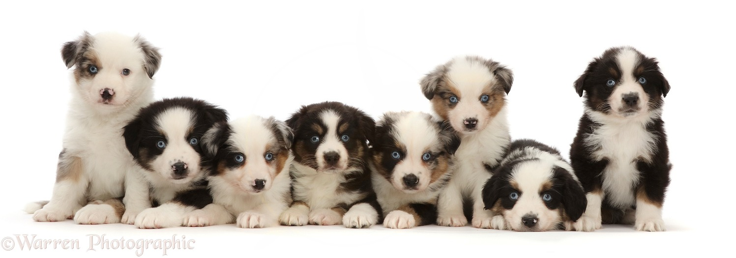 Eight Mini American Shepherd puppies, sitting in a row, white background