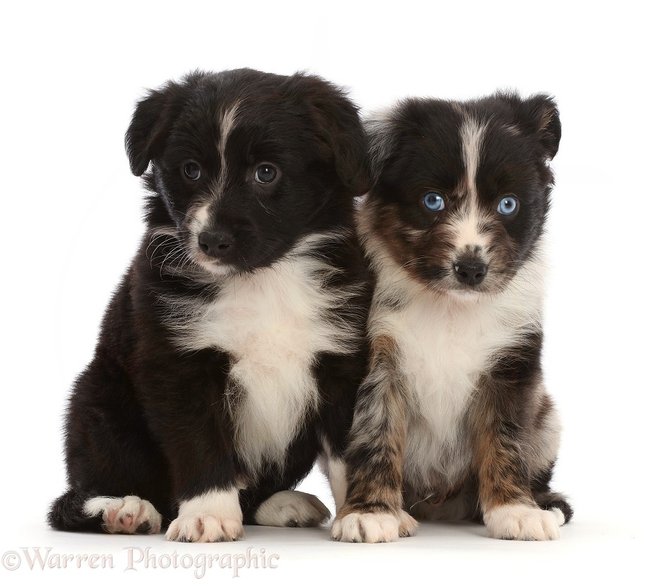 Two Mini American Shepherd puppies, sitting, white background
