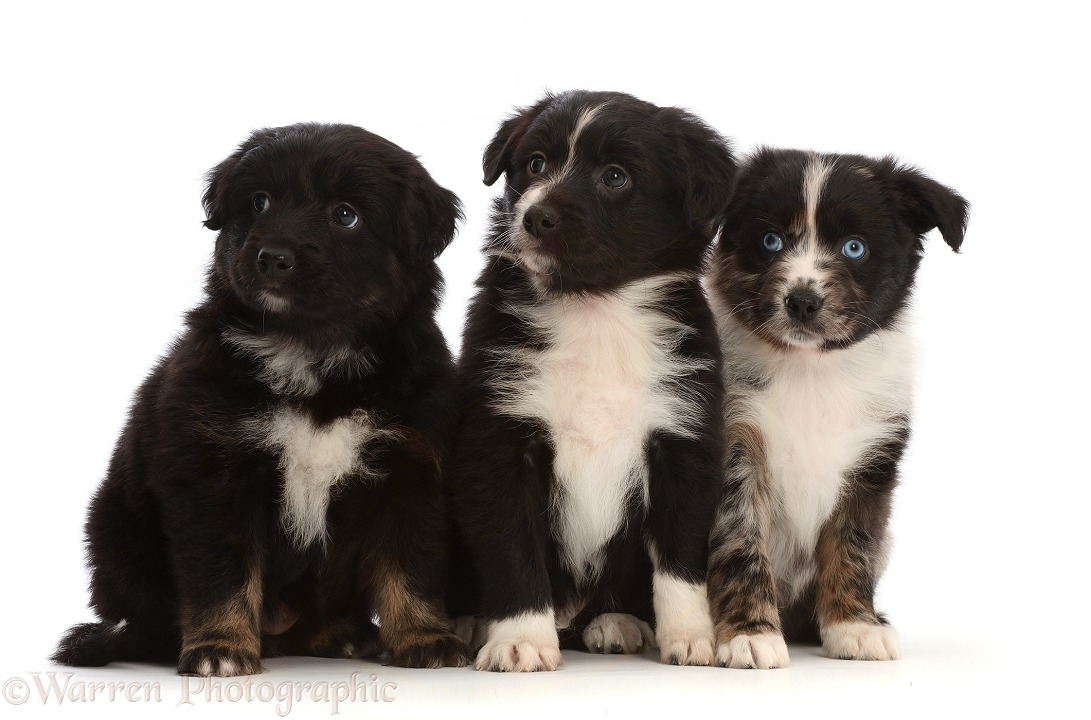 Three Mini American Shepherd puppies, sitting in a row, white background