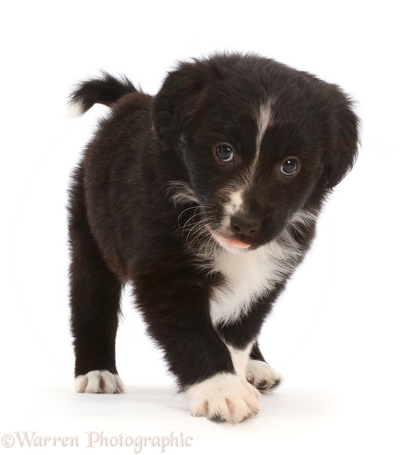 Mini American Shepherd puppy, white background