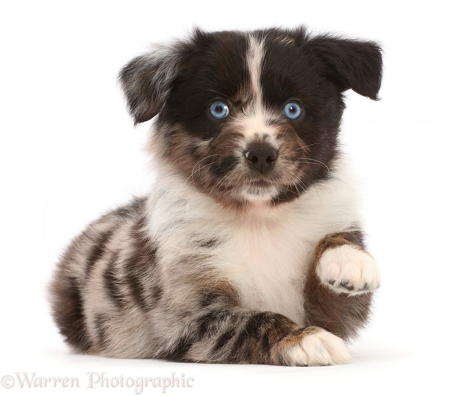 Mini American Shepherd puppy, pointing paw, white background