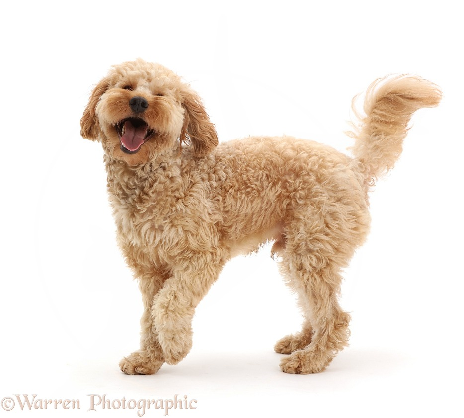 Cockapoo dog, Monty, 10 months old, white background