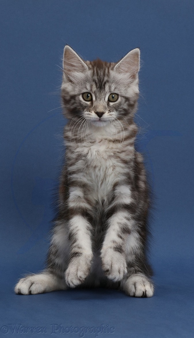 Silver tabby kitten, Blaze, 9 weeks old, on dark blue background