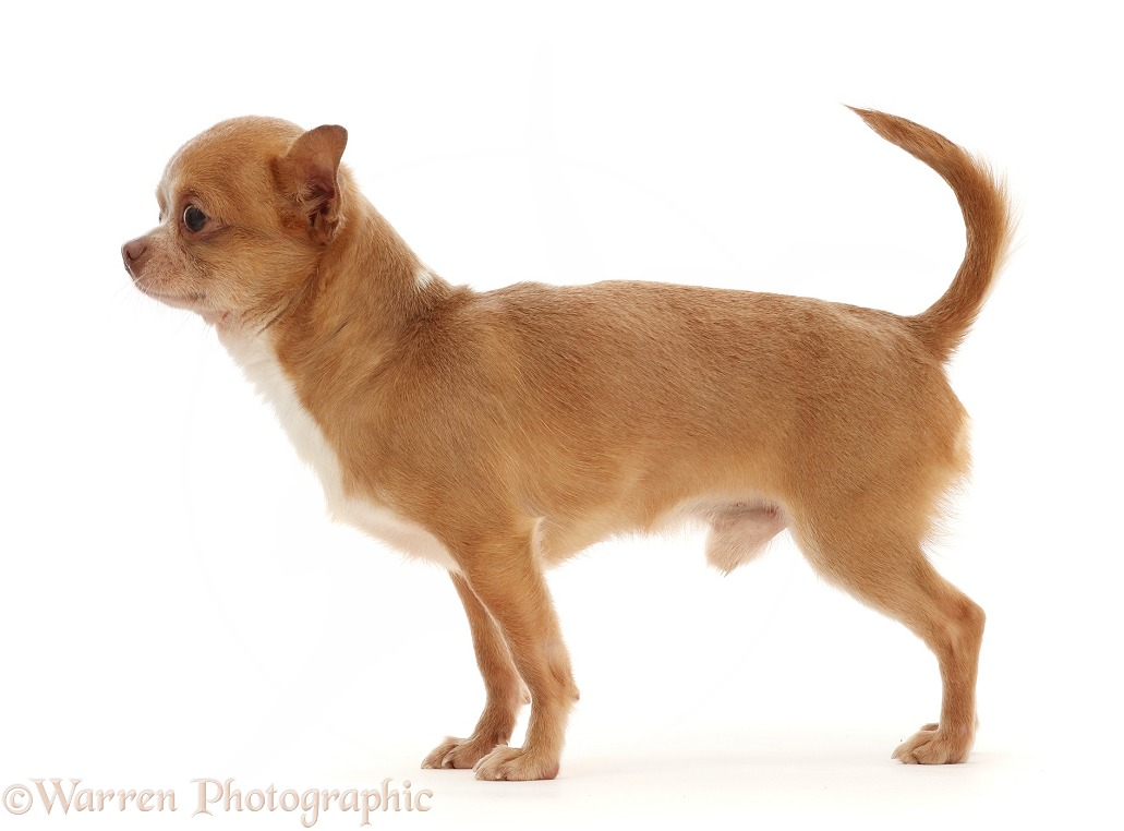 Chihuahua dog, standing, white background