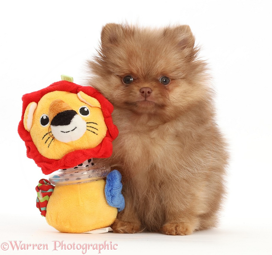 Pomeranian puppy with toy, white background