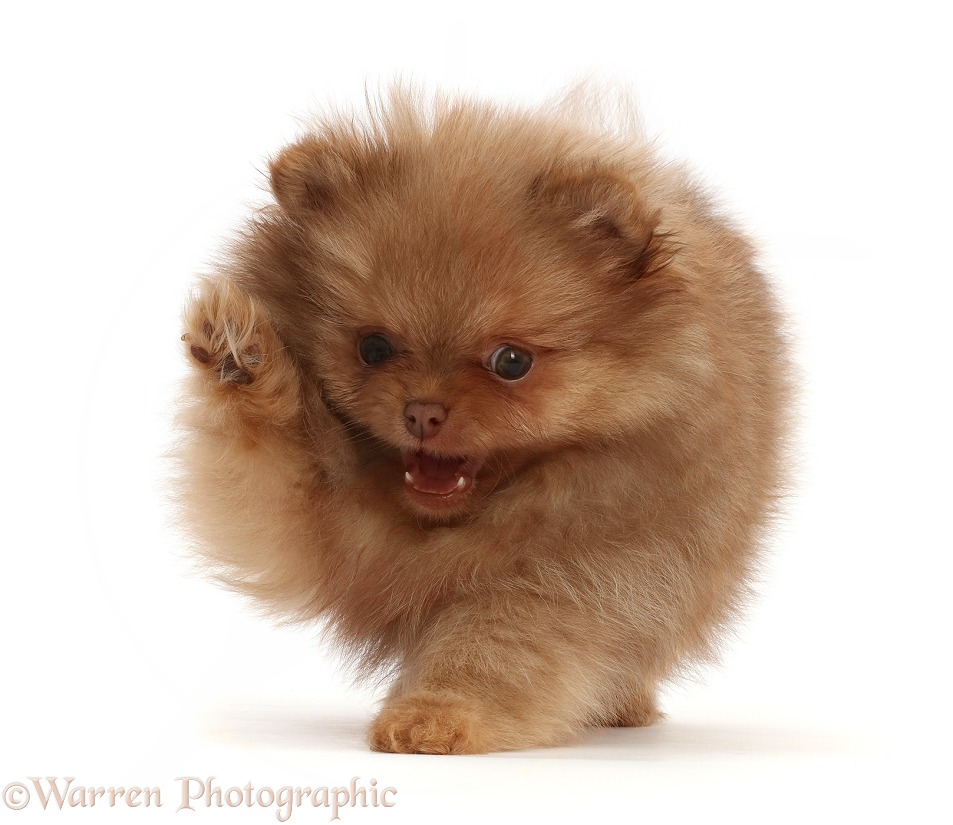 Playful Pomeranian puppy, white background