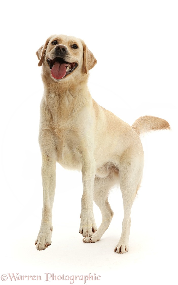 Yellow Goldidor Retriever dog, Bucky, 2 years old, playfully jumping up, white background