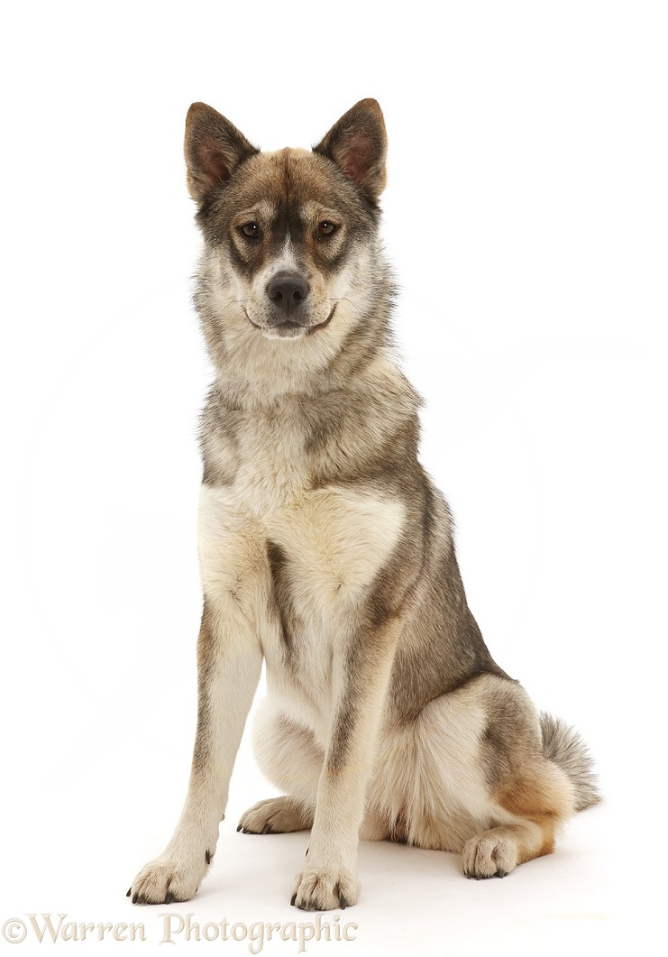 Husky-cross dog sitting, white background